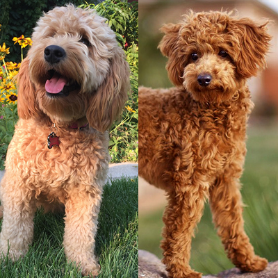 Doodlepups Best Mini And Toy Goldendoodles In Utah And We Can Ship