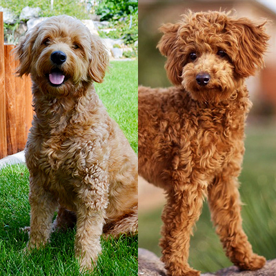 Doodlepups Best Mini And Toy Goldendoodles In Utahand